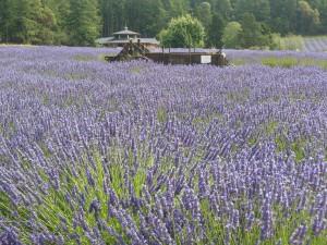 field trips lavender